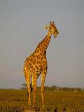Giraffe (Giraffa Camelopardalis) Grazing, Etosha National Park, Namibia, Africa