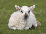 Spring Lamb, Scotland, United Kingdom