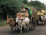 Bullock Carts are the Main Means of Transport for Local Residents, Tamil Nadu State, India