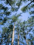 Pines and Sky, Mountain Pine Ridge, Belize, Cental America