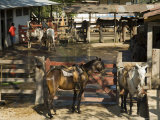 Horses, Hacienda Guachipelin, Near Rincon De La Vieja National Park, Guanacaste, Costa Rica