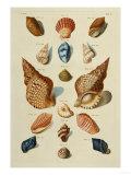 A Selection of Seashells, 1758