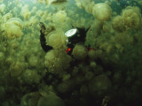A Diver in a Lake Filled with Jellyfish