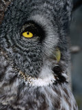 Face of Great Grey Owl, Canada