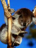 Koala in Tree at Healesville Sanctuary, Healesville, Victoria, Australia