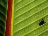 Silhouette of Fly on Banana Leaf, Tzimbazaza Zoo, Antananarivo, Antananarivo, Madagascar