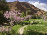 Spring Blooms, Todra Gorge Area, Morocco