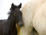 Detail of White Camargue Mother Horse and Black Colt, Provence Region, France