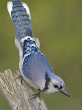 Close-up of Blue Jay on Dead Tree Limb, Rondeau Provincial Park, Ontario, Canada