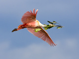 Roseate Spoonbill in Flight Carrying Nesting Material, Tampa Bay, Florida, USA