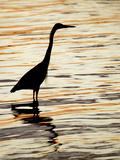 Silhouette of Great Blue Heron in Water at Sunset, Sanibel Fishing Pier, Sanibel, Florida, USA
