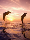 Bottlenose Dolphins, Caribbean Sea Near Roatan, Honduras