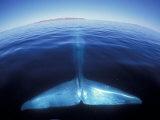 Blue Whale Tail, Baja, California, USA