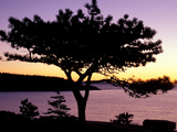 Pitch Pine, Ocean Drive at Sunrise, Acadia National Park, Maine, USA