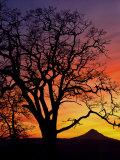 Oak Tree Framing Mt. Hood at Sunset, Columbia River Gorge National Scenic Area, Oregon, USA