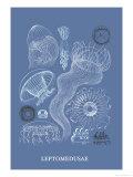 Jellyfish: Leptomedusae
