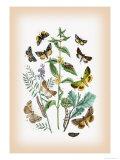Moths: Plusia Iota, P. Hochenwarthi