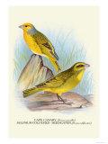Cape Canary, Sulphur-Coloured Seed-Eater