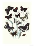 Butterflies: H. Circe, H. Hermione