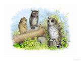 Short-Eared Owl and Screech Owl