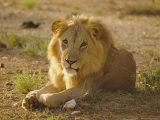 Lion (Panthera Leo), Sambura, Kenya, Africa