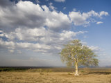 Lone Tree in the Landscape Near the Omo River in Southern Ethiopia, Ethiopia, Africa