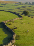 Stonewalls and Sheep, Near Ribblehead, Yorkshire, England, UK, Europe