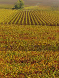 Vineyards in Autumn, Champagne, France, Europe