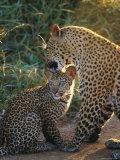 Leopard and Cub, Singita Game Reserve, Sabi Sands, South Africa
