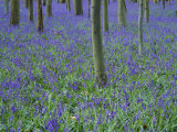 A Bluebell Wood in Sussex, England, UK