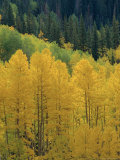 Yellow Aspens, Colorado, USA