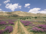 Lavender and Spring Flowers on the Road from the Bekaa Valley to the Mount Lebanon Range, Lebanon