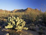 Prickly Pear Cactus at Sunset, Saguaro National Park, Tucson, Arizona, USA