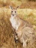 Eastern Grey Kangaroo and Joey, Kosciuszko National Park, New South Wales, Australia, Pacific