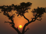 Sunset with an Acacia, Masai Mara National Reserve, Kenya, East Africa, Africa