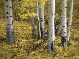 Aspens in Fall Colors, Near Ouray, Colorado, United States of America, North America