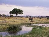 African Elephant (Loxodonta Africana), Tarangire National Park, Tanzania, East Africa, Africa