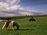 Shetland Ponies, Unst, Shetland Islands, Scotland, United Kingdom, Europe