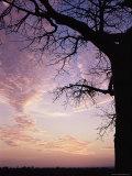 Sunset Behind Baobab Tree, Tarangire National Park, Tanzania, East Africa, Africa