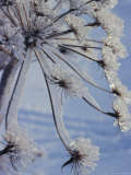 Close-up of 'Jewels' of Ice on a Plant, Norway, Scandinavia, Europe