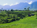 Rice Terraces in the Rice and Coffee Growing Heart of Western Flores, Ruteng, Flores, Indonesia