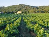 Vineyard, the Var, Cote d'Azur, Provence, France