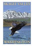 Bald Eagle Diving, Skagit Valley, Washington