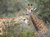Giraffe (Giraffe Camelopardalis), Mala Mala Game Reserve, Sabi Sand Park, South Africa, Africa