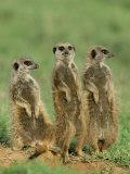 Three Meerkats (Suricates), Suricata Suricatta, Addo National Park, South Africa, Africa