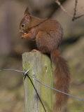 Red Squirrel (Sciurus Vulgaris), Formby, Liverpool, England, United Kingdom, Europe