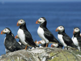 Puffins (Fratercula Arctica), Farne Islands, off Northumbria, England, United Kingdom, Europe