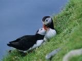 Puffin Pair (Fratercula Artica) Billing, Shetland Islands, Scotland, UK, Europe