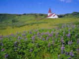 Church and Lupin Flowers, Vik, Iceland