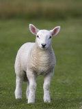 Spring Lamb, Scotland, United Kingdom, Europe